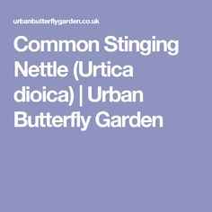 Common Stinging Nettle (Urtica dioica) | Urban Butterfly Garden