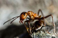 Sipelgas - Ant - Formicidae