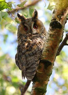 Long-eared owl, Ransuil (asio otus)