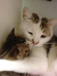 Cookie Dough is an adoptable Domestic Short Hair-White Cat in Salisbury, MA. Well hello there! I'm Cookie Dough, a beautiful mostly white girl kitty with some brown tabby markings. That's why the staf...