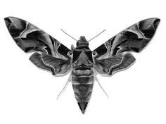 moth tattoo meaning MEMEs Moth Tattoo Design, Tattoo Designs, Tattoo Ideas, Moth Tattoo Meaning, Moth Species, Hawk Moth, A Bug's Life, Beautiful Bugs, Skin Art