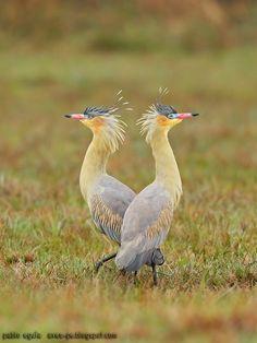 mis fotos de aves: Chiflón [Syrigma sibilatrix] Whistling heron