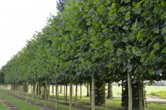 Platanus hispanica    De leiplataan, voluit platanus hispanica, is door z'n grote bladeren en snelle groei een geliefde leiboom: de leiplataan biedt veel beschutting en privacy. Typisch voor deze boom is de afbladderende schors. De boom geeft veel stof af, waardoor het lastig is hem te snoeien zonder vuil te worden. Snoei op natte dagen, dan gaat het het beste. De leiplataan neemt relatief veel ruimte in, wat zowel een voordeel als een nadeel is; de leivorm maakt dit wel beheersbaar.