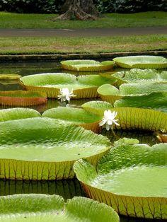 imawalkingdisasterrr:  Water lilies
