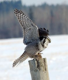 Northern Hawk Owl (Surnia ulula) with prey. Photo by Michael Butler.
