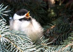 Baby Black Capped Chickadee