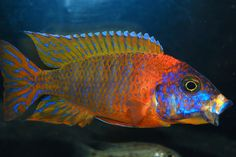 Ruby Red Peacock Cichlid by Rolds Gold, via Flickr