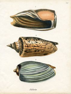 Voluta shells (Conchylienbuch). Germany, 1848 #conchology #shells #seashells