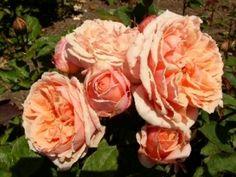 Paul Bocouse, Peach Garden Rose, California Grown