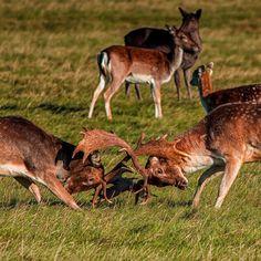 Deer rutting in Dublin's Phoenix Park. Deer Rut, Dublin, Kangaroo, Phoenix, Ireland, Gray, Photos, Animals, Instagram