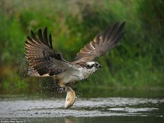 The osprey makes the most of his enormous wing-span as he flies further away from the river, somehow managing to hold onto the weight of the sea creature