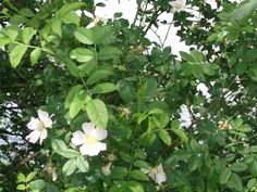 June dog roses, a midsummer hedgerow beauty