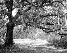 New Orleans Oak Tree Photograph, Black and White Landscape Fine Art Photography Print, Louisiana, City Park, Wall Art, Home Decor by briole on Etsy https://www.etsy.com/listing/244813770/new-orleans-oak-tree-photograph-black