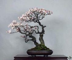 bonsai trees types - Google Search