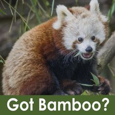 The Sequoia Park Zoo Needs Bamboo Donations for Its Hungry Red Pandas | Lost Coast Outpost | Humboldt County