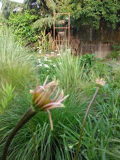 echinacea simulata