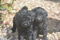Beautiful Black Cockapoo boys and girls puppies for sale. Cocker Spaniel (English) puppies for sale . Puppies for sale in UK - England, Scotland, Wales & Northern Ireland.