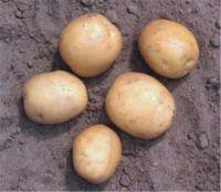 Pootaardappelen