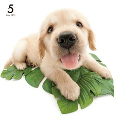 Golden Retriever | DOG | Artlist Collection CALENDAR 2015