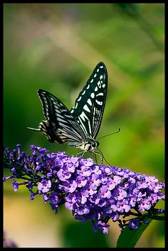 Butterfly at Showa Kinen Park, Tachikawa, Tokayo, Japan