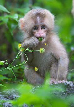 Baby was eating a flower - Funny Monkeys - Funny Monkeys meme - - Baby was eating a flower Baby Monkey Pet, Monkey Art, Snow Monkey, Monkey Pictures, Animal Pictures, Cute Funny Animals, Cute Baby Animals, Funny Monkeys, Photos Singe