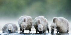 Feeding time at the reservoir. A group of four #Cygnets (sadly there used to be seven) feed in the shallow edges of the reservoir. Shot early in the morning in #Derbyshire #England.  #Swans #Wildlife #Photography  Image taken by Adam Clark Photography.