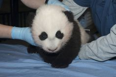 """The newest giant panda cub, born at the Smithsonian's National Zoo, was named """"Bao Bao"""" on Sunday in a ceremony celebrating the cub's first 100 days of life. Bao Bao means """"treasure"""" or """"precious"""". The name fits the cub perfectly, don't you think? :-)"""