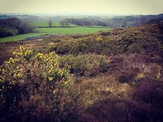The gorse is in bloom #spring #staffordshire #sundaywalk #knypersley