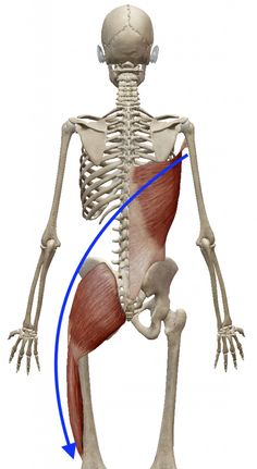 """The """"Hidden Survival Muscle"""" In Your Body Missed By Modern Physicians That Keep Millions Of Men And Women Defeated By Pain, Frustrated With Belly Fat, And Struggling To Feel Energized Every Day… Gross Anatomy, Human Body Anatomy, Yoga Anatomy, Human Anatomy And Physiology, Muscle Anatomy, Hip Anatomy, Postural, Sports Therapy, Muscles In Your Body"""