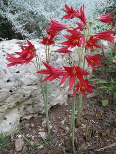 This week the first of the oxblood lilies, Rhodophiala bifida, made their appearance. I almost missed them, situated as they are at the back of the rock garden. Maybe they deserve a place in the spotlight as they bloom for such a short period if time. More are to follow judging by the buds just showing.