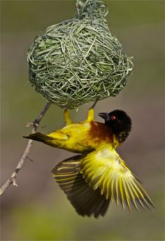 Golden-Backed Weaver