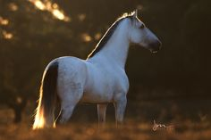 Lusitano Stallion, Portugal Some Beautiful Images, Beautiful Horses, Clc, Horse Pictures, Portugal, Spanish, Free, Painting, Beauty