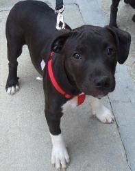 Socks - War Orphan  Terrier/Black Labrador Retriever Mix: An adoptable dog in Falls Church, VA
