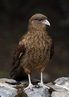 Chimango Caracara (Milvago chimango) is a species of bird of prey in the Falconidae family. It is found in Argentina, Brazil, Chile, Paraguay and Uruguay.