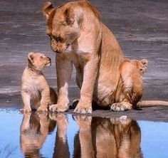 Super Baby Animals And Their Mothers Beautiful Creatures Ideas Big Cats, Cats And Kittens, Cute Cats, Beautiful Cats, Animals Beautiful, Cute Baby Animals, Animals And Pets, Animals Photos, Gato Grande