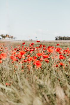 Through The Poppy Field iPhone 8 wallpaper iPhone Wallpapers 736 X – Phone backgrounds Boho Aesthetic, Flower Aesthetic, Red Poppies, Red Flowers, Colorful Flowers, Red Roses, Aesthetic Iphone Wallpaper, Aesthetic Wallpapers, Wallpper Iphone