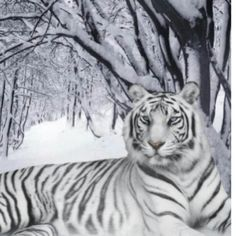 Very rare tigers | Very Rare White Bangled Tiger