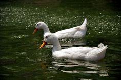 The Tale of Two Ducks by deadpoet88, via Flickr