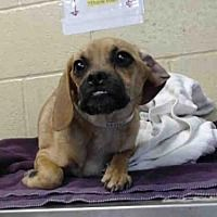Downey Ca German Shepherd Dog Meet Six A Dog For Adoption