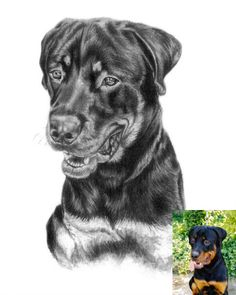 Dog Art, Horse Art & Other Pet Portraits Sketched By Hand in Graphite Pencil Done Working From Your Photos by Pet Artist Genevieve Schlueter. Portrait Sketches, Drawing Sketches, Dog Drawings, Studios, Photo Sketch, House Drawing, Hand Sketch, Brown Dog, Wildlife Art