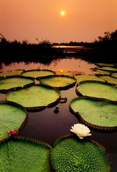 Giant water lilies at sunset, Victoria Regia, Paraguay River, Pantanal, Brazil. Photo by Frans Lanting. Giant Water Lily, Belle Image Nature, Beautiful World, Beautiful Places, Frans Lanting, Water Lilies, Oh The Places You'll Go, Amazing Nature, Belle Photo