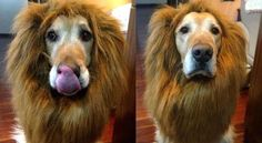Dog Costume Lion Mane Wig       >>>>> Buy it here   http://amzn.to/2bY4x0f