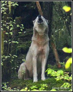 Great Bear Rain Forest & Coastal gray wolves are fighting to survive!! http://howlingforjustice.wordpress.com/2011/03/28/the-last-wild-wolves-in-british-columbias-great-bear-rainforest/