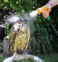 coruja tomando banho de mangueira mas que beleza