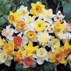 Our Premium Daffodil Mix: Fine Named Varieties at Bargain Prices!
