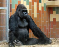 In case you were wondering what a gorilla looks like meditating.