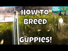 How to Breed Guppies Guppy Fish for profit  Breeding Guppies for Profit Guppy Tank Setup - YouTube