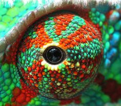 Cute Reptiles, Reptiles And Amphibians, Weird Creatures, All Gods Creatures, Eye Pictures, Animal Pictures, Anaconda, Chameleon Eyes, Eye Close Up