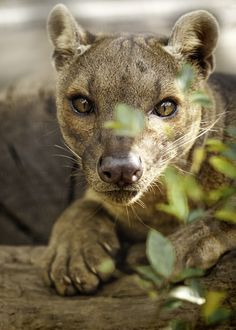 359 best fossa images on pinterest in 2018 wild animals animal