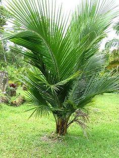 Tipos De Palmas   Tipos de palmeras. Hojas pinnadas y sin capitel